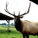 Elk in Washington